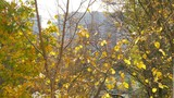 Slow motion shot of autumn yellow tree with few dry leaves and first snow falling down - 242578267