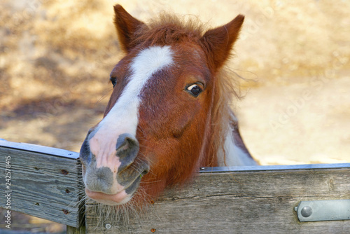 A horse peeking its head above a wooden fence