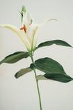 Closeup Of A Lily