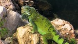 A green iguana is posing on the rock in Curacao. - 242585680