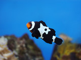 black and white clownfish in the coral reef