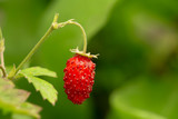 Red Fragaria Or Wild Strawberry. Growing Organic Wild Strawberry - 242589000
