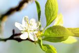 Apfelblüte im Frühling, Blütenblatt und Blätter an einem Apfelbaum