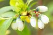 Blüten der Vaccinium corymbosum, Blaubeeren oder Kulturheidelbeeren beim Wachstum