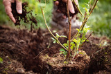 Gärtner beim Einpflanzen von Rubus sectio Rubus, Nahaufnahme