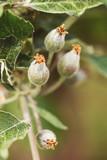 Wachstum der Früchte vom Apfelbaum, kleine Äpfel wachsen am Baum