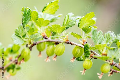 Foto Murales Wachstum der Früchte vom Stachelbeerstrauch, Stachelbeeren hängen am Zweig