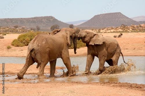 Elephants wrestle