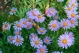 background of  medov daisies