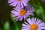 bee on field daisy