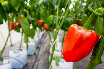 Fresh red bell peppers with green leaves growing in greenhouse garden