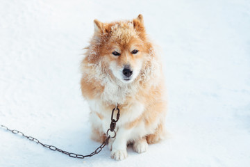 Fluffy red chained dog outdoors in winter on snow looking