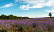 Lavender flower blooming scented fields in endless rows
