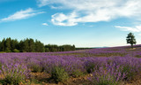 Fototapeta Lawenda - Lavender flower blooming scented fields in endless rows © diyanadimitrova