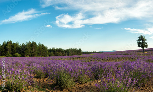 Lavender flower blooming scented fields in endless rows - 242616041