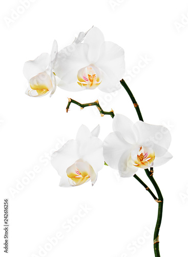 Orchids flowers on banch isolated on white background. - 242616256
