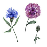 Beautiful blue and purple Centaurea flowers on stems with green leaves isolated on white background. Botanical set. Watercolor painting.