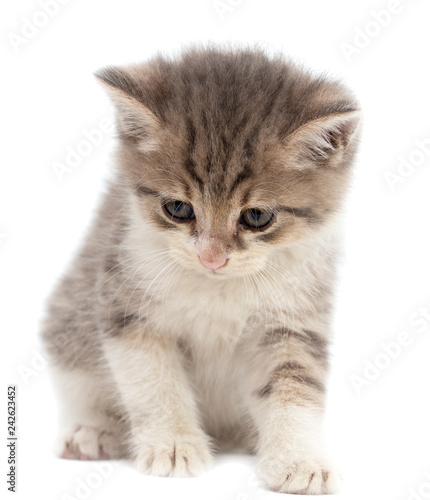 Portrait of a kitten on a white background - 242623452