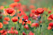 poppies flowers spring season countryside