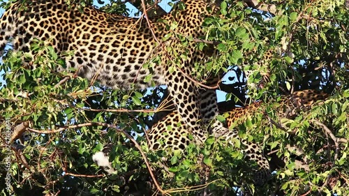Young male leopard with kill hidden within a small Maroela tree, grooms his brother in between the lush green leaves, Greater Kruger National Park