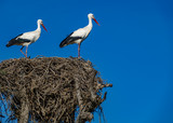 Storks on top of the nest against blue sky