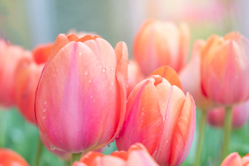 Close up.Beautiful Pink tulips blooming in garden,Tulip flower with green leaf background in tulip field at spring.