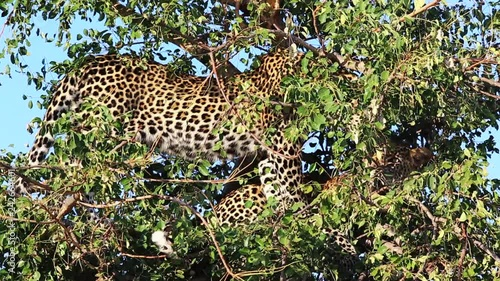 Two sub-adult male leopards grooms one another within a maroela tree during the day, Greater kruger National Park