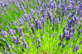 Lavender flowers in field - 242667200
