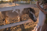 Little spotted pony on horse farm at sunset - 242668425