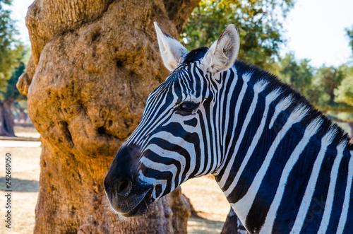Zebra - 242669050