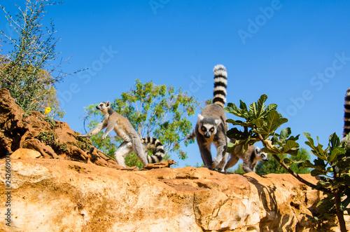 Lemuri - 242669079
