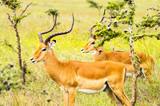 Two male impalas in Nairobi park Kenya Kenya Africa - 242680803