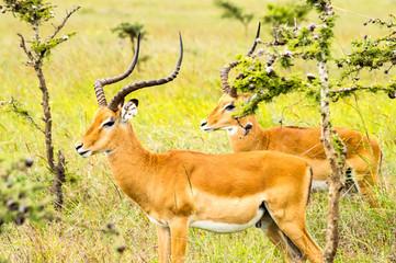 Two male impalas in Nairobi park Kenya Kenya Africa