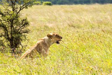 Lioness sitting in the savannah of Nairobi Park in Kenya in Africa