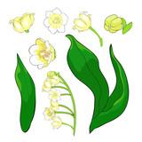 flower lily of the valley.  illustration