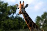 ZOO żyrafa  - 242686469