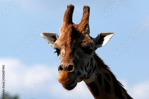 Obraz na płótnie żyrafa ZOO