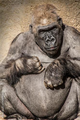 Obraz na płótnie gorila pensativo