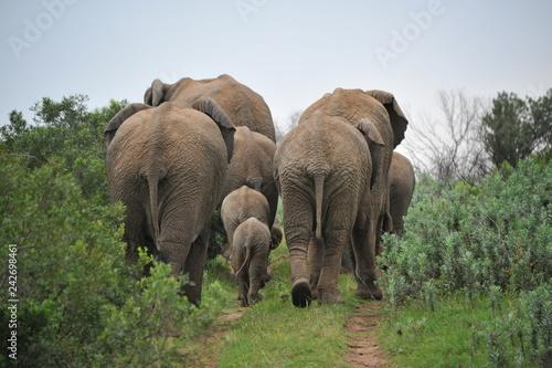 Herd of elephants capured in Kariega Game reserve, South Africa