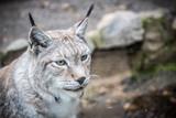 Portrait d'un lynx