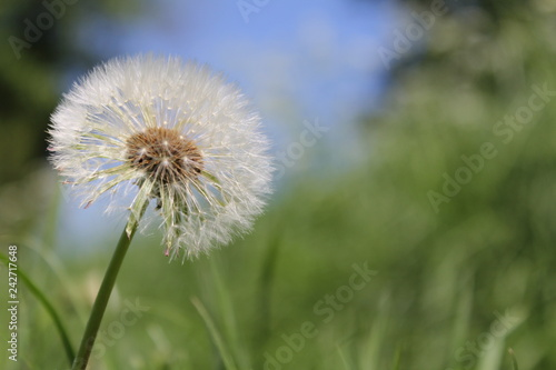 a beautiful fluffy dandelion with a blue and green background - 242717648