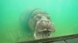 hippopotamus in the zoo and yawning - 242718237