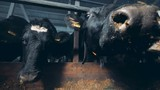 Cows in a special barn, close up. - 242721222