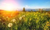 Morning view of the blooming field in the sunlight. Location place Carpathian, Ukraine.