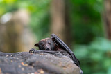 Flying fox looking over the edge of a rock - 242722654