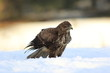 Common Buzard (Buteo Buteo) on snow