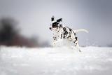 dog dalmatian running through the snow field fun