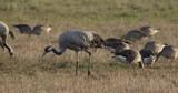 common cranes in autumn - vorpommern, Germany - 242767010