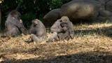Three young gorillas sitting and eating together - 242780266