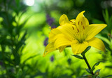 flower of yellow lily in garden